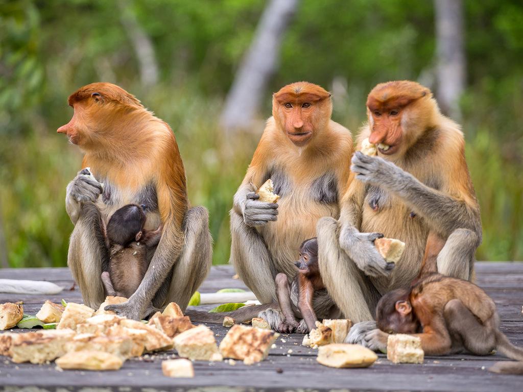Kinabatangan: Fluss-Safari
