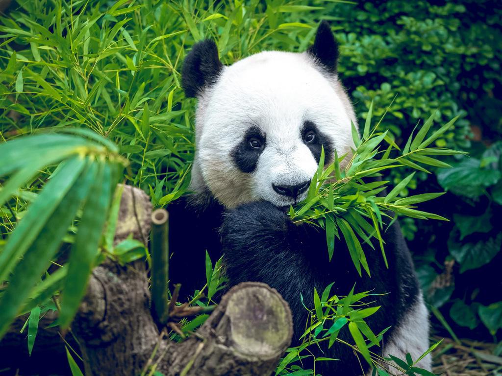 Chengdu : Pandazuchtstation, Wenshu Tempel, Viertel Kuanzhai