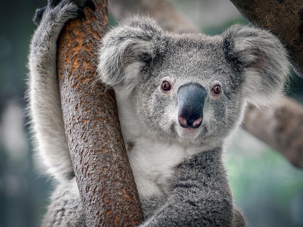 Brisbane: Citytour und Cruise zum Lone Pine Koala Sanctuary