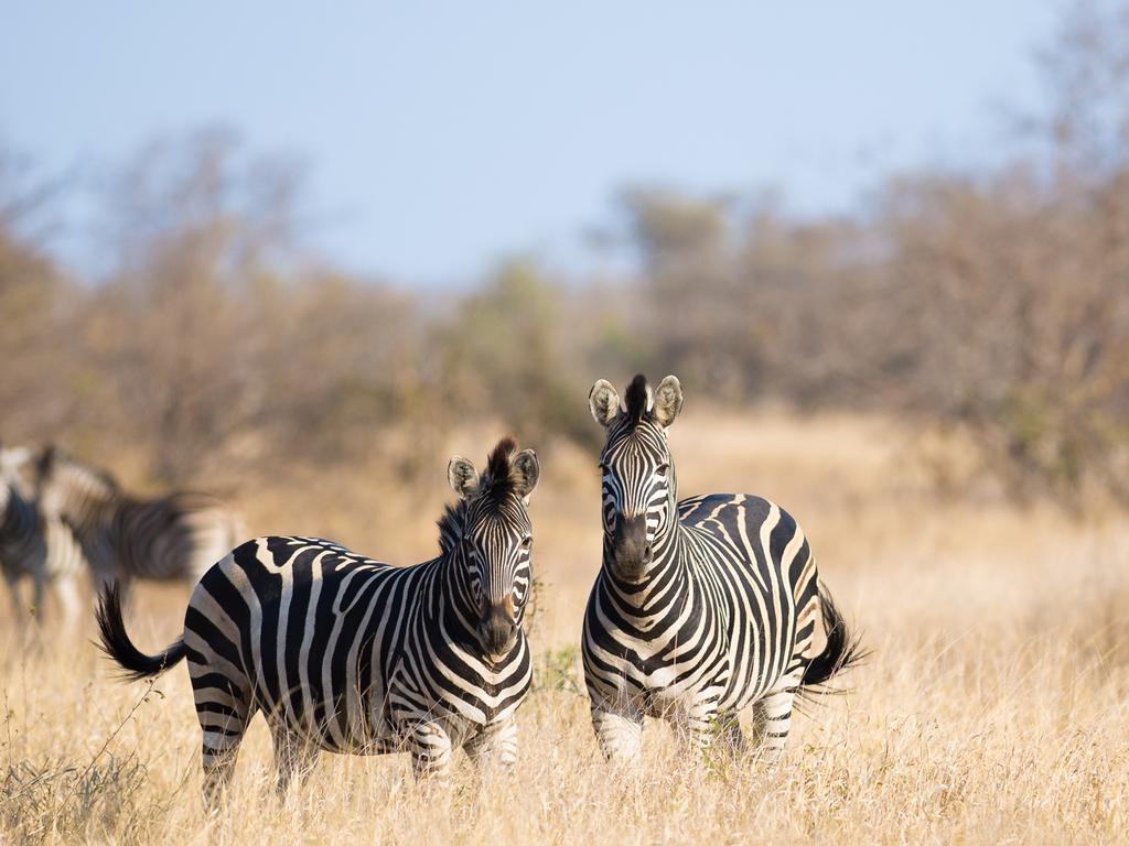Amakhala- oder Kariega-Wildreservat : vormittags und nachmittags Pirschfahrten in offenen Safari-Jeeps