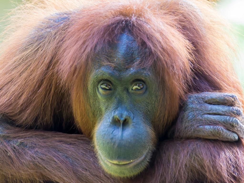 Samboja : Dschungelwanderung zu den Orang-Utans, Fluss-Safari zu den Nasenaffen