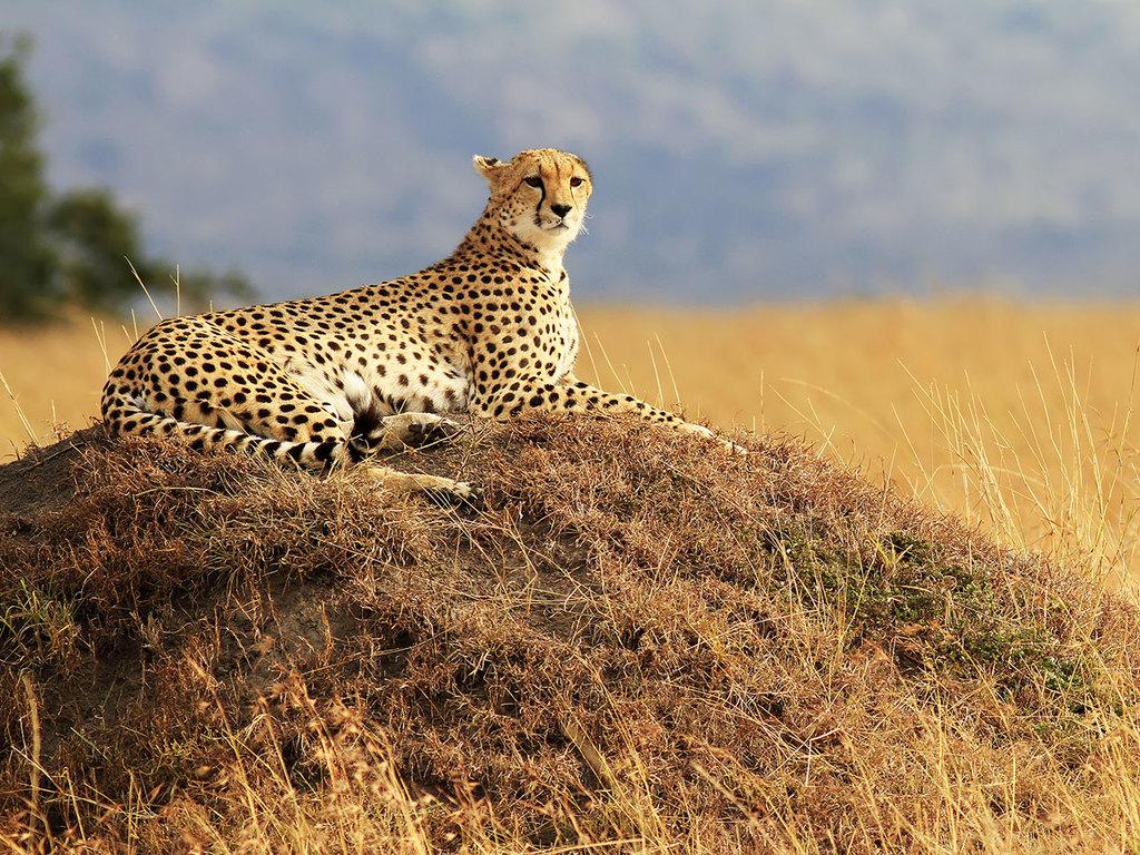 Masai Mara-Nationalreservat: ganztägige Pirschfahrt