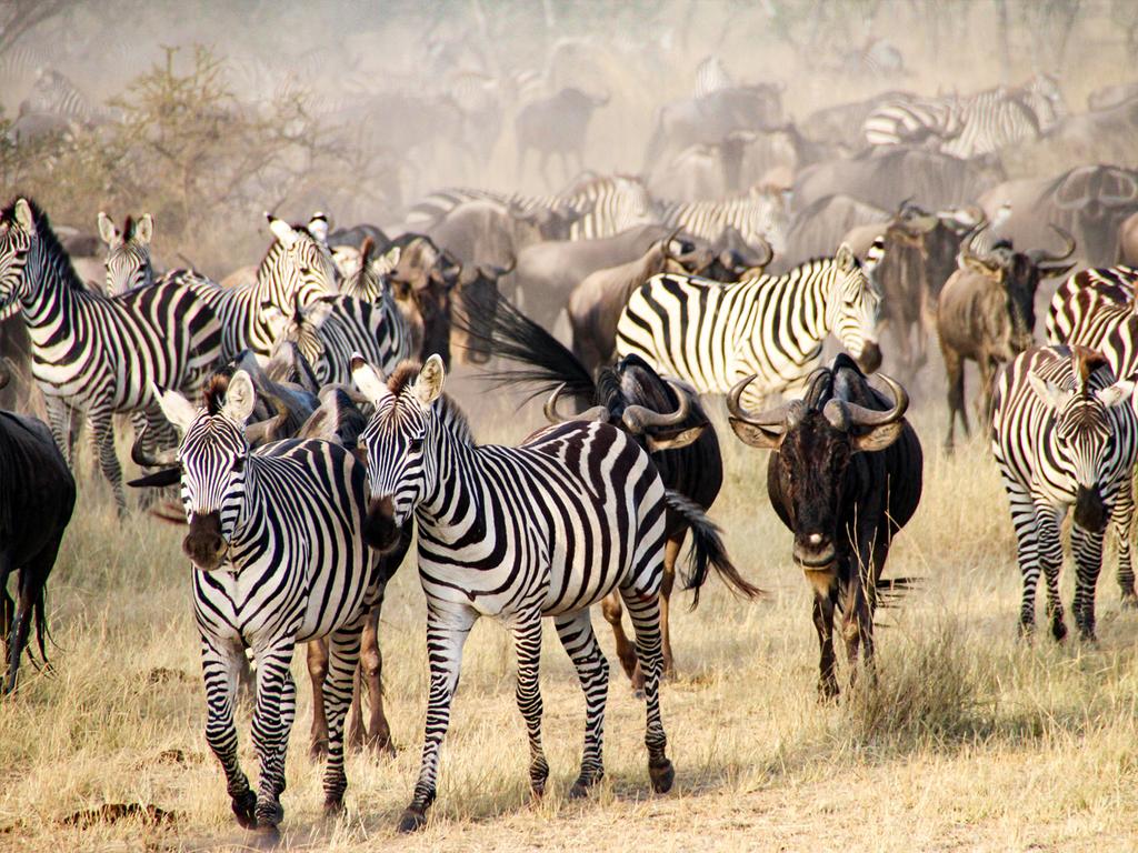 Ngorongoro-Krater – Serengeti N.P.: Pirschfahrten am Vor- und Nachmittag im Krater und in der Serengeti