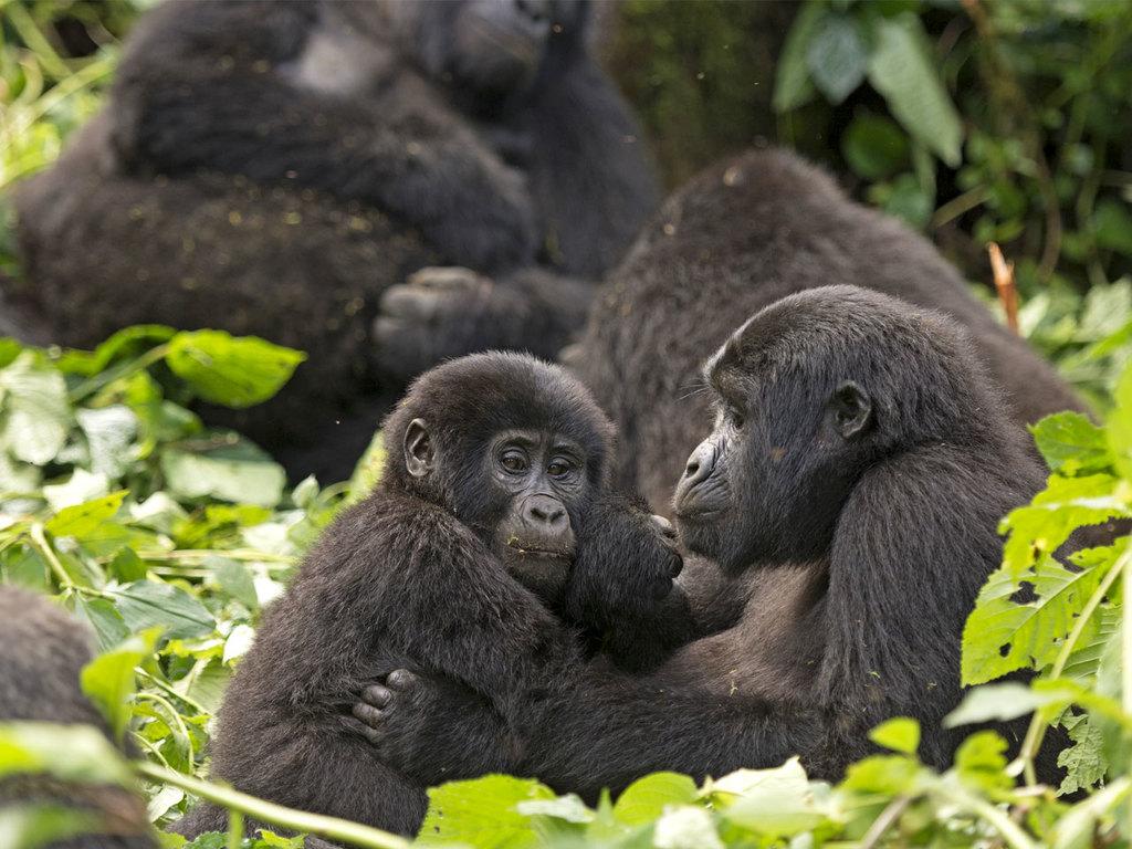 Bwindi Impenetrable N.P. : Gorilla-Tracking im Bwindi Impenetrable N.P. (optional)