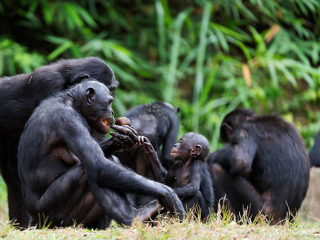 Schimpansen-Tracking im Kibale Forest N.P. : Schimpansen-Tracking und Wanderung im Bigodi Wetland Sanctuary mit Mittagessen in einer Dorfgemeinschaft