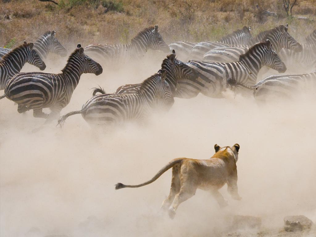 Masai Mara-Nationalreservat: Pirschfahrten am Vormittag und Nachmittag