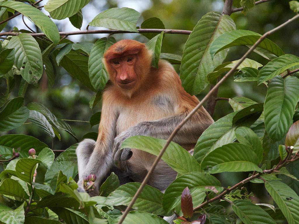 Kinabatangan: Fluss-Safari, Wanderung zum Oxbow-See