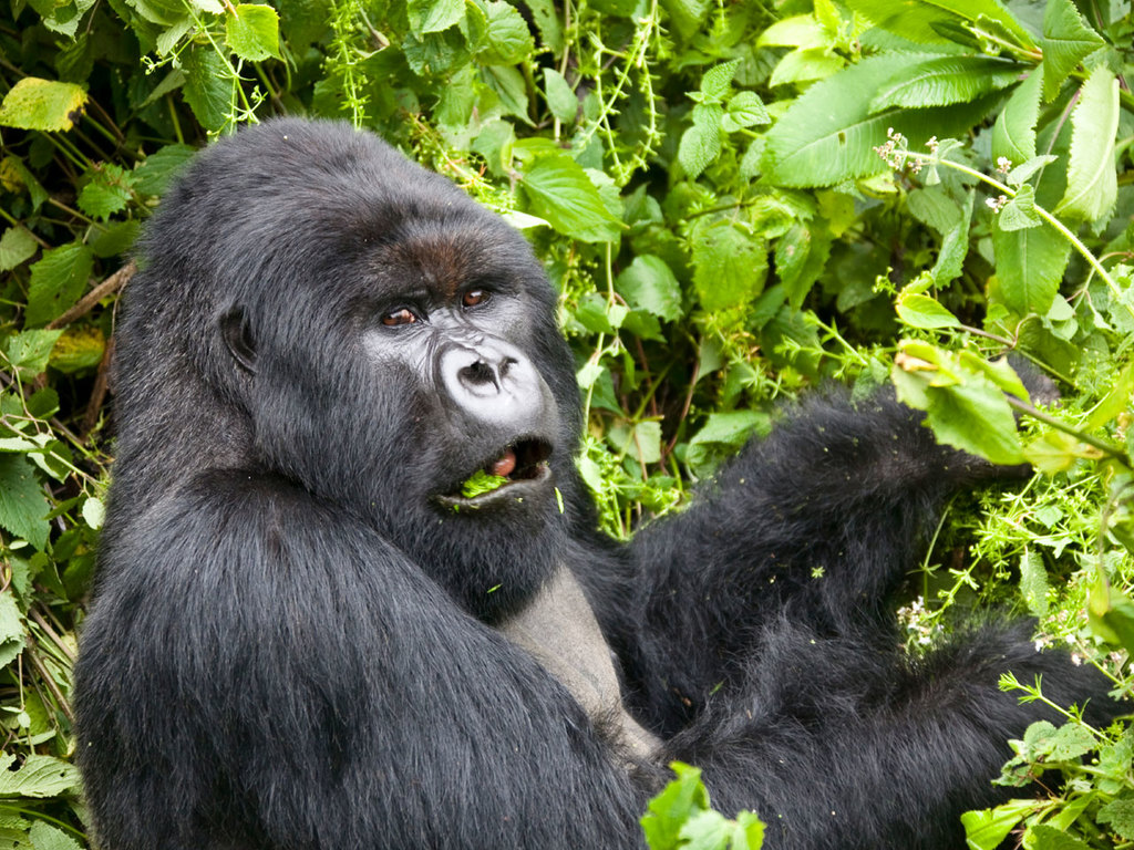 Bwindi Impenetrable N.P. : Gorilla-Tracking (optional)