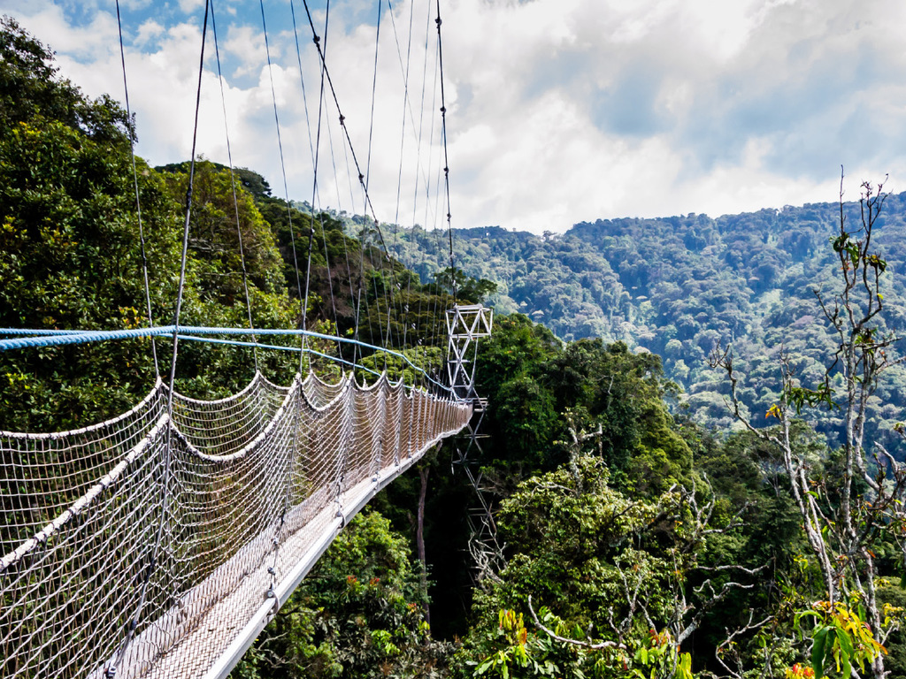 Nyungwe Forest N.P.: am Vormittag Schimpansen-Tracking, nachmittags Canopy-Walk