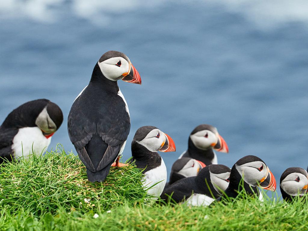 Tórshavn – Mykines – Tórshavn: Wanderung auf der Vogelinsel Mykines, Papageitaucherkolonie