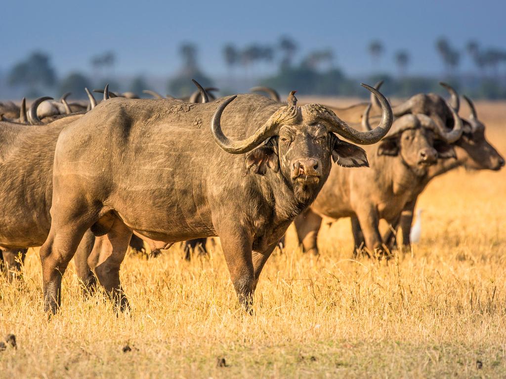South Luangwa N.P. : am frühen Morgen und späten Nachmittag Pirschfahrt in offenen Safari-Fahrzeugen