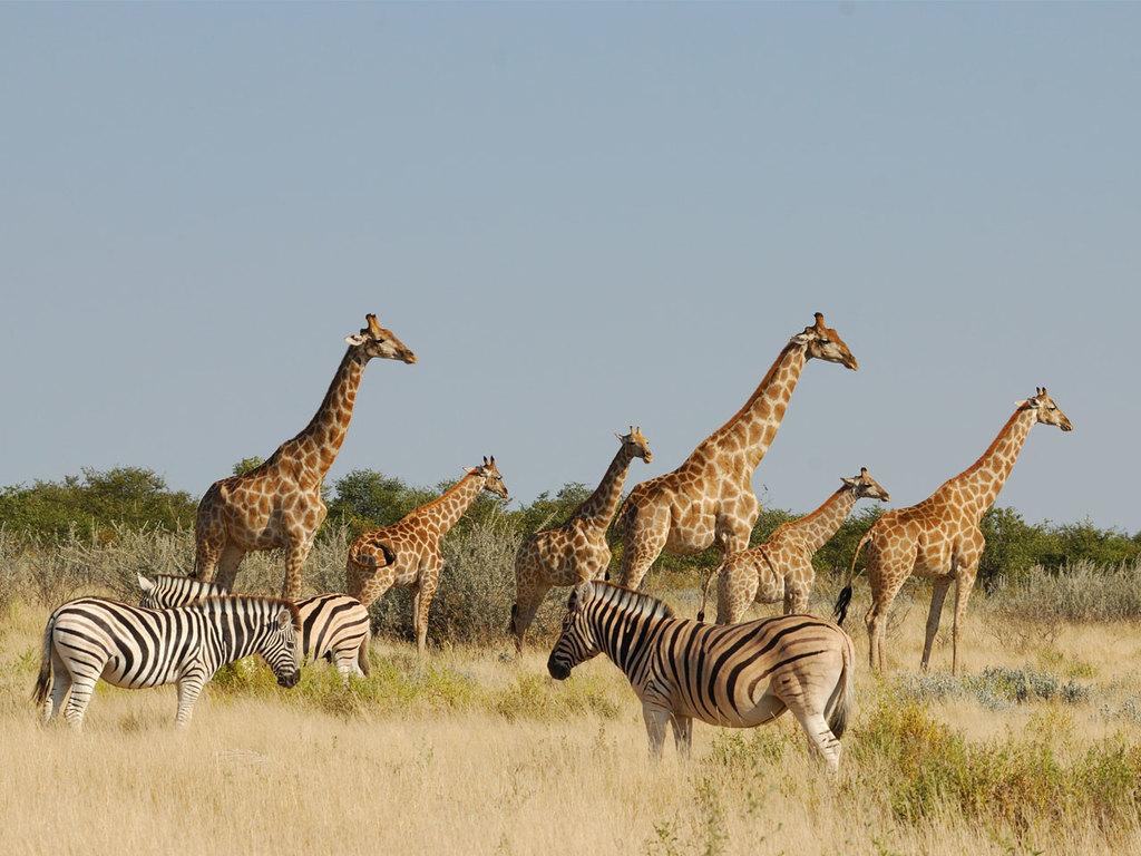 Etosha N.P.: am Vor- und Nachmittag Pirschfahrten im Nationalpark