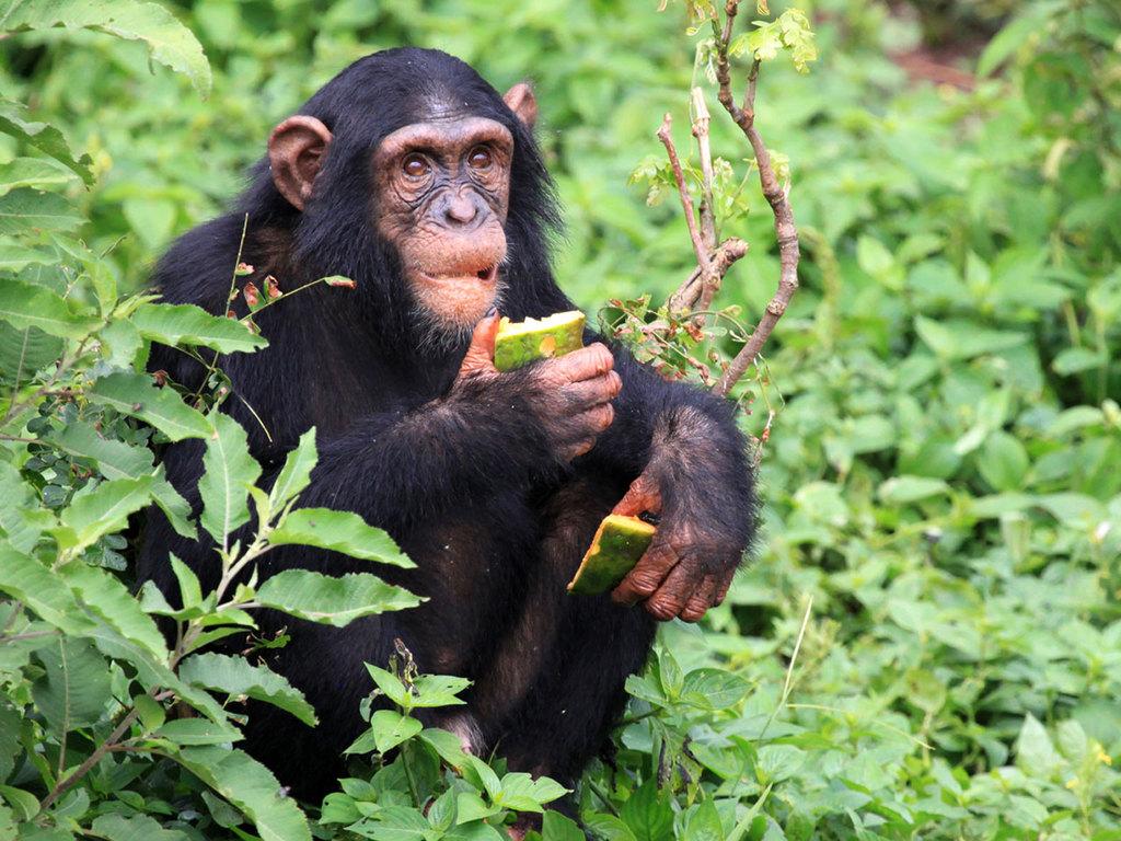 Kibale Forest N.P. : Optionales Schimpansen-Tracking und Wanderung im Bigodi Wetland Sanctuary mit lokalem Mittagessen